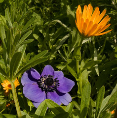 The Bulb Guy-Anemone and African Daisy (J_Richard_Link) Tags: anemone africandaisy thebulbguy