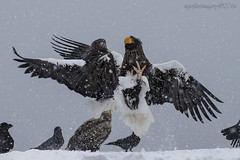 Stellar Sea Eagles (Ross Forsyth - tigerfastimagery) Tags: wild snow ice nature japan island japanese boat wings hokkaido eagle wildlife free stellar conflict eagles animalplanet avian birdofprey whitetail bop talons seaeagles whitetailedseaeagle rausu wildlifephotography stellarseaeagle fantasticwildlife