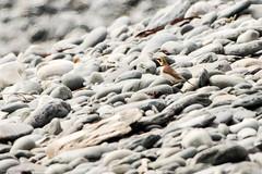 Horned Lark, Long Beach (frank.king2014) Tags: ca canada hornedlark trepassey newfoundlandandlabrador