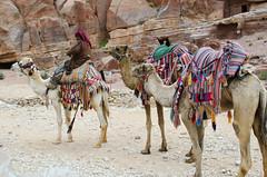 Camels at Petra (MalancaA) Tags: petra culture jordan middle camels est bedouin
