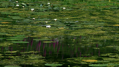 Waterlilies (Jelltex) Tags: stourhead wiltshire waterlillies jelltex jelltecks