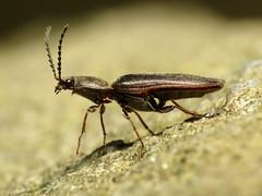 Patient Click Beetle (treegrow) Tags: nature insect washingtondc beetle beetles rockcreekpark arthropoda coleoptera lifeonearth elateridae raynoxdcr250 canonpowershotsx40hs