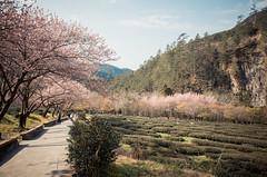20160306-R0011913 (Kay's...) Tags: cherryblossom sakura   wuling wulingfarm