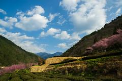 20160306-DSC_6024 (Kay's...) Tags: cherryblossom sakura   wuling wulingfarm