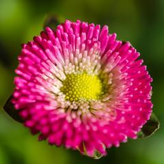 Well balanced growth (Frank Lammel) Tags: flower color colour macro fleur germany spring nikon blumen 40mm nikkor 2016 d5100