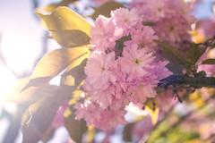 Blossom (Fenchel & Janisch) Tags: nature germany spring blossom frankfurt sommer frankfurtammain springtime frhling fruehling