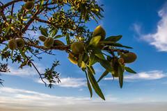 Amande ! (Lil d'un Naturaliste) Tags: algeria saad sidi laghouat gueltat
