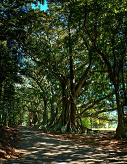 #86 Morton Bay figs pano 2 (imageo) Tags: trees mortonbayfigs thesecretlifeoftrees