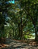 #86 Morton Bay figs pano 2 (imageo) Tags: trees mortonbayfigs thesecretlifeoftrees