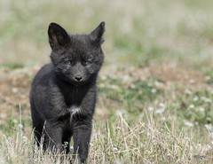 Silver Fox Kit (T0nyJ0yce) Tags: wild baby cute nature animals cub sweet wildlife young adorable fox kit pup foxes silverfox redfox silverphase canon7dmarkii tamron150600
