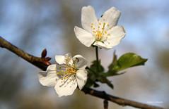 08-IMG_9594 (hemingwayfoto) Tags: blte baum kirschblte obstbaum kirschbaum blhen weis obstbaumblten