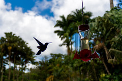 Colibri (guillaume_bardet) Tags: bird fleur montagne nikon df martinique bec guillaume extrieur contrejour oiseaux sucre aile balata colibri jardindebalata montagnepele bardet guillaumebardet nikondf