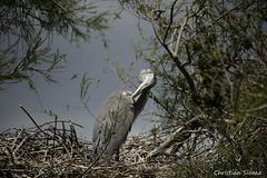 _DSC0459 (chris30300) Tags: france heron de pont parc oiseau camargue gau saintesmariesdelamer flamant provencealpesctedazur ornithologique