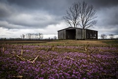 Henbit Barn (Notley) Tags: bridge sky field architecture clouds barn rural march spring weeds weed purple missouri callawaycounty bucolic purpleflowers henbit 2015 riverbottoms 10thavenue mokanemissouri notley rurallandscape ruralphotography missouririverbottoms purpleblooms notleyhawkins callawaycountymissouri missouriphotography httpwwwnotleyhawkinscom notleyhawkinsphotography henbitblooms
