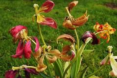 Abgeblhter Tulpenstrau (7) (Chironius) Tags: flower rot fleur blossom flor  fiore blte tulipa tulpen blten liliaceae  liliales  liliengewchse lilienartige lilioideae