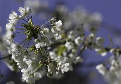 Enthousiasme (Larch) Tags: white flower tree bokeh bloom arbre blanc cherrytree cerisier fruittree enthusiasm blooming inbloom floraison enthousiasme enfleur