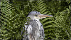 _SG_2016_04_5002_IMG_0048 (_SG_) Tags: bird heron birds grey vgel vogel greyheron reiher fischreiher graureiher