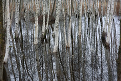 living in overflow II (Mindaugas Buivydas) Tags: trees winter abstract color reflection tree forest december mood moody calm swamp birch bog lithuania lietuva tyrmikas tyraiforest