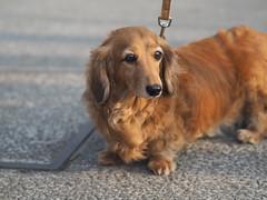 P5020679 (mina_371001) Tags: dog pet cute animal japan sapporo hokkaido lovely photographywork olympusomdem10