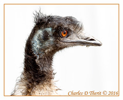 Emu (ctofcsco) Tags: 1200 1d 1div 200mm 40 bird black brown canon colorado ef200mm ef200mmf2lisusm emu eos1d eos1dmarkiv explore f4 mark4 markiv nature orange unitedstates usa white whitebackground wildlife wwwcoloradogatorscom alligators co coloradogatorsreptilepark explored geo:lat=3770572325 geo:lon=10587029815 geotagged hooper mosca best wonderful perfect fabulous great photo pic picture image photograph