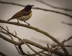 flickering tongue (tsd17) Tags: srilanka sunbird