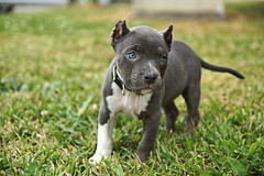 Malice at work (This_is_JEPhotography) Tags: blue portrait dog pet beautiful grass animal puppy photography eyes small pit pitbull pup bully malice jphotography