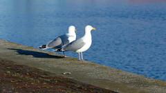 twee eenzame meeuwen (Omroep Zeeland) Tags: water kade meeuwen