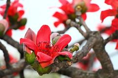 IMG_8734 -  Cheung Sha Wan (Mak_Ho) Tags: flower canon photography hongkong vegetation      cheungshawan  laichikokroad bombaxmalabaricum bombaxceiba   700d kowloon   tonkinstreet  laikokestate