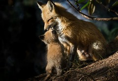 A Mothers Love... (ChristinaAnne.M) Tags: canada cute nature animals outdoors spring nikon raw quebec montreal wildlife sigma fox wildlifephotographer naturephotography redfox foxcub wildlifephotography naturephotographer renardroux d7000 nikond7000 spring2016