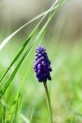 Blaue Wiesenblume (Lutz Blohm) Tags: blumen blte frhling blten wiesenblume sonyalpha7aiimit24240mm