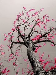plum blossoms (akashirokiiro) Tags: flower japan spring aomori hachinohe 青森 梅 plumblossoms experia 八戸