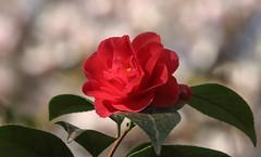 Spring Glamour (AnyMotion) Tags: pink flowers red plants rot primavera nature floral colors leaves garden spring colours blossom bokeh frankfurt pflanzen rosa blumen magnolia camelia camellia blte bltter garten printemps farben frhling kamelie 2016 magnolie anymotion camelliajaponica 7d2 canoneos7dmarkii