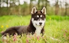 Lypee  (Elisa Pirat) Tags: flowers dog pet fleurs puppy husky noir bokeh lumire prairie siberian blanc mignon