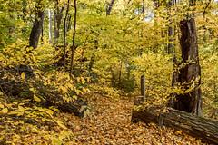 Spicebush along the Ecology Trail, fall color (bhwp.photo) Tags: usa pennsylvania newhope lauraceae linderabenzoin lindera northernspicebush bowmanshill ecologytrail