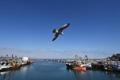 Brixham Bay, Devon (clarktom845) Tags: sea england bird boats devon brixham