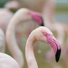 pinky ... (ewaldmario) Tags: pink two bird eye wet animal zoo tiere fly nikon focus dof pastel flamingo beak feathers rosa sigma tele phoenicopterusroseus animalportrait 150500 ewaldmario zooviennna