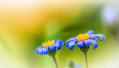 Spring end of day (frederic.gombert) Tags: flowers blue light summer sun flower color field yellow garden evening spring blossom sweet bloom greatphotographers abigfave macrodreams