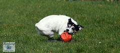Charlie, Jack-Russel (7) (Enjoy my pixel.... :-)) Tags: dog ball jack play russel run terrier hund 2016