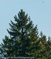 RedTail Hawk15_DSC5212.jpg (orig_lowolf) Tags: usa bird oregon nikon flickr hawk crows frontyard attacking lakeoswego d300s sigma150500mmf563afapodgoshsmtelephotozoom