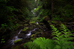 Bunch Creek (David Young - LandscapeExposure.com) Tags: fern green water landscape waterfall washington rainforest quinault