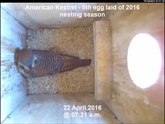 Kestrel - Fifth Egg Laid of 2016 Nest Season (Darin Ziegler) Tags: urban colorado nest coloradosprings americankestrel nestbox sparrowhawk falcosparverius vivotekfd8151vnetworkcamera