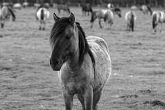 Wild Horses in black-and-white - Foal - 2016-020_Web (berni.radke) Tags: horse pony herd nordrheinwestfalen colt wildhorses foal fohlen croy herde dlmen feralhorses wildpferdebahn merfelderbruch merfeld przewalskipferd wildpferde dlmenerwildpferd equusferus dlmenerpferd dlmenpony herzogvoncroy wildhorsetrack