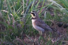 Horned Lark in field at Ellensburg (Heather Roskelley) Tags: ellensburg hornedlark andystepniewskitrip