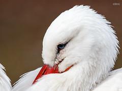 Weistorch (Ciconia ciconia) (ulibrox) Tags: bird germany bayern deutschland bavaria zoo tiere vgel tier vogel augsburg storch ciconiaciconia strche hochzoll weisstorch