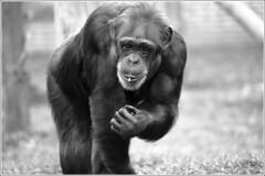 Twycross Chimp 3 (Darwinsgift) Tags: zoo nikon chimp d micro if chimpanzee af nikkor f4 warwickshire twycross 200mm d810
