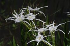 Spider Lily (bamboosage) Tags: auto 14 m42 55 preset mamiyasekor