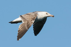 Juvenile great black backed gull? (Shane Jones) Tags: bird nikon gull seabird greatblackbackedgull birdinflight tc14eii 200400vr d7200