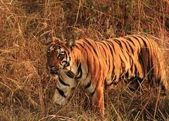 Sonam @Tadoba Andhari Tiger Reserve (swarnabece) Tags: royalbengaltiger tadobaandharitigerreserve