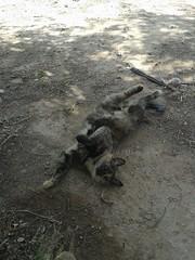 Yertl (tat2dqltr) Tags: cat stretch roll tortoiseshellcat tortie catbelly yertl