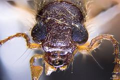 Beetle (Huetzi) Tags: macro zeiss focus beetle micro philipp focusstack helicon primostar huettner